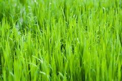 Лужайка природы луга травы предпосылки росы падения обоев Стоковая Фотография RF