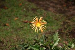 Лужайка с цветком Стоковая Фотография RF