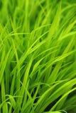 лужайка травы детали Стоковое Изображение RF