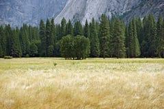 Лужок долины Yosemite Стоковые Фотографии RF