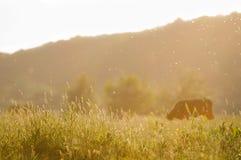 Лужок и корова лета Стоковые Изображения