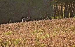лужок койота Стоковая Фотография RF