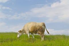 лужок коровы зеленый Стоковое Фото