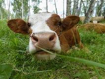 лужок коровы лежа Стоковое Изображение RF