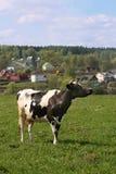 лужок коровы Стоковая Фотография RF