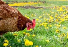 лужок курицы Стоковое Фото