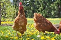 лужок куриц стоковые фотографии rf
