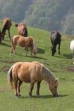 лужок лошадей Стоковые Фотографии RF