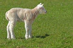 лужок овечки Стоковое Фото