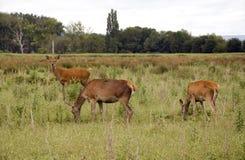 лужок оленей Стоковые Фото