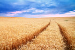 Лужок пшеницы Стоковое Фото