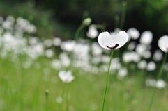 Лужок с белыми цветками Стоковая Фотография RF