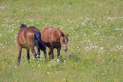 лужок 2 лошадей Стоковое Изображение