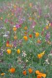 лужок 3 цветков одичалый Стоковое Изображение RF