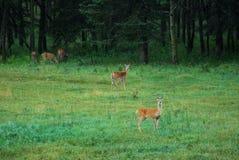 лужок deers Стоковые Изображения