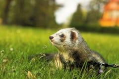 лужок ferret зеленый Стоковое Фото