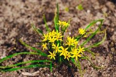 Луки гусыни травы Стоковые Фотографии RF