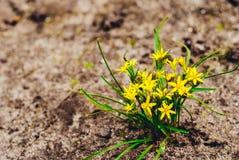 Луки гусыни травы Стоковая Фотография