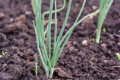 Луки на кровати Зеленые луки растут в земле Стоковые Изображения
