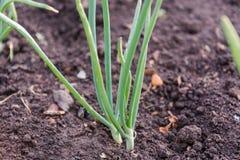 Луки на кровати Зеленые луки растут в земле Стоковые Фотографии RF