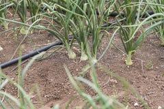 Луки растя в поле Стоковое Фото