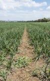 Луки растя в поле Стоковые Фотографии RF
