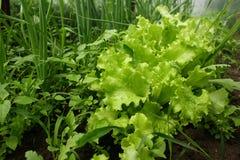 луки салата Стоковые Фото