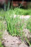 Лук в экологическом домашнем саде Стоковая Фотография