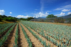 лук поля зеленый Стоковая Фотография