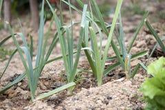 Лук-пореи в саде Стоковые Фотографии RF