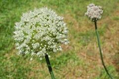 Лук-порей в цветении Стоковые Фотографии RF