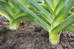 Лук-порей растет огорода стоковое изображение