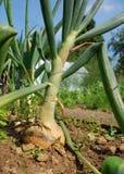 лук рекордного урожая Стоковое Фото