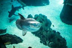 Лунатируйте заплывание рыб и акулы в большом аквариуме морской воды Стоковое Изображение RF
