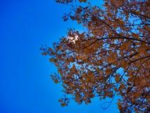 Луна за листьями осени стоковые фотографии rf