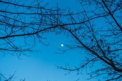 Луна и ветви Стоковое Изображение RF