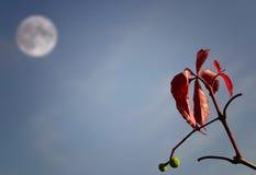 луна листьев Стоковая Фотография RF