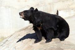 луна медведя черная Стоковая Фотография
