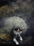 Лунный волк Стоковые Изображения