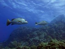 луциан мангровы стоковые изображения rf