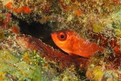 Луциан пряча в коралловом рифе - Roatan Glasseye, Гондурас стоковые фотографии rf