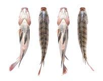 луциан рыб Стоковые Фотографии RF