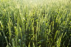 Лучи пшеничного поля и солнца стоковые фото