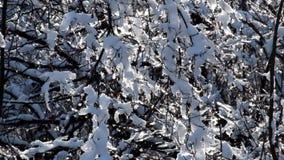 Лучи солнец делают их путь через ветви покрытые с снегом акции видеоматериалы