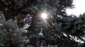 Лучи солнечности через ветви ели в парке или лесе, предпосылке пирофакела объектива для вступления видеоматериал