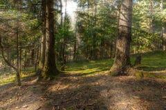 лучи солнца делают их путь через лесные деревья Стоковые Изображения