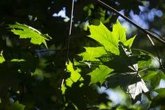 Лучи солнца светят через зеленые листья клена зеленый цвет предпосылки красивейший Стоковые Фото