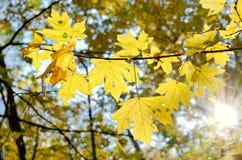 Лучи солнца среди деревьев в лесе осени Стоковые Изображения RF
