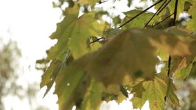 Лучи солнца через листву осени сток-видео