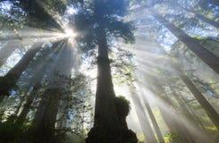Лучи Солнця в Redwoods, CA Стоковые Изображения